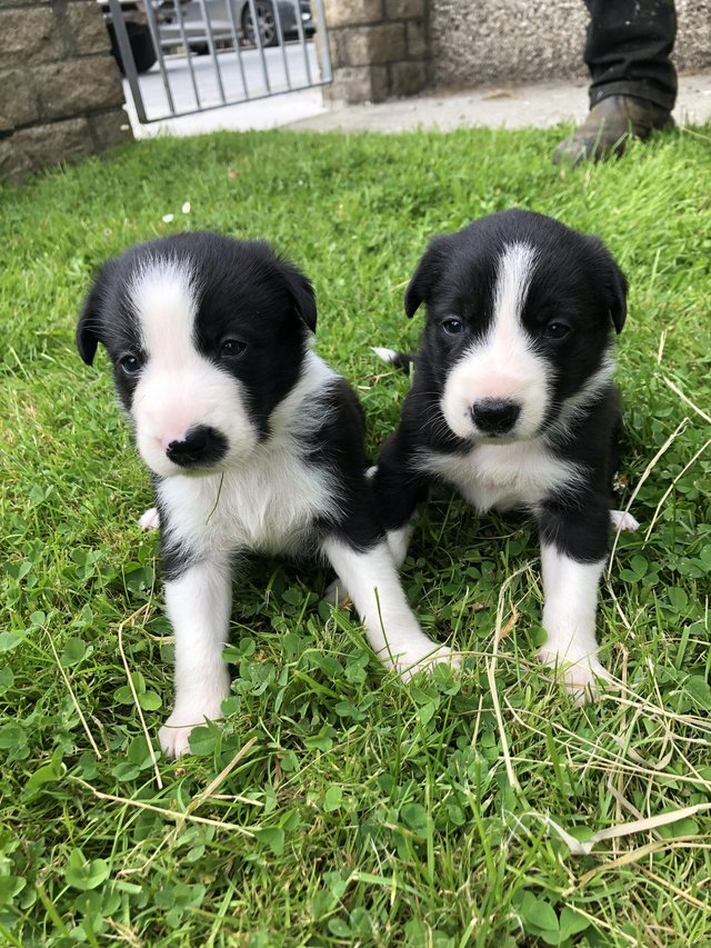 Preview of the first image of Border Collie puppies for sale.