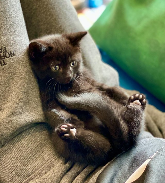 Preview of the first image of British Shorthair X Black Kittens Well Played With.