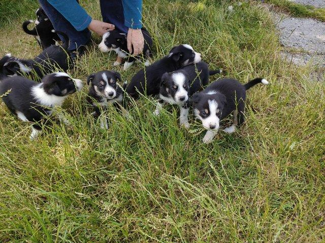 Preview of the first image of Registered border collies puppies.