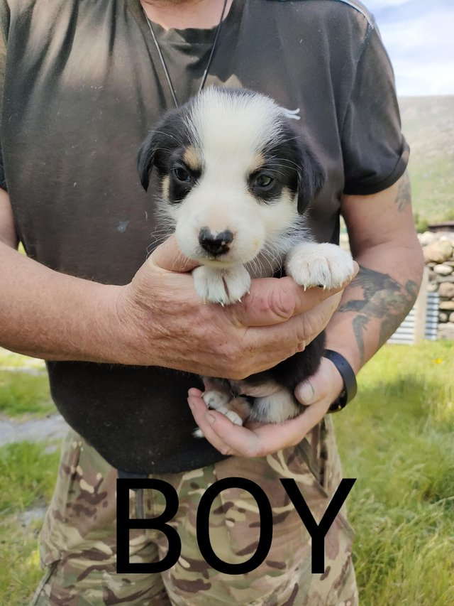 Image 2 of Registered border collies puppies
