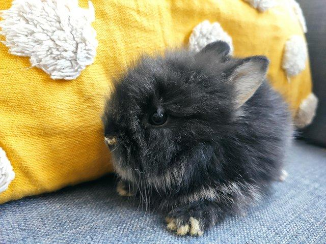 Image 2 of Lionhead - Double mane pure breed - RESERVED