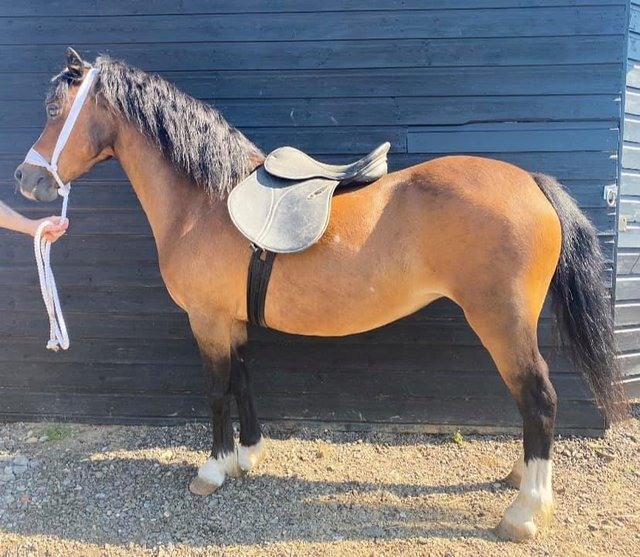 Image 2 of DEP RECEIVED - A true stamp of a Welsh A - 11,2Hh 14Yo Mare