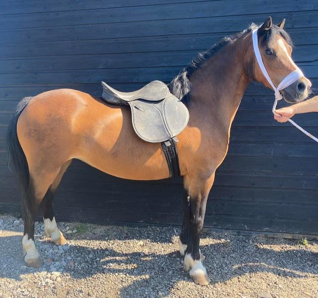 Image 3 of DEP RECEIVED - A true stamp of a Welsh A - 11,2Hh 14Yo Mare