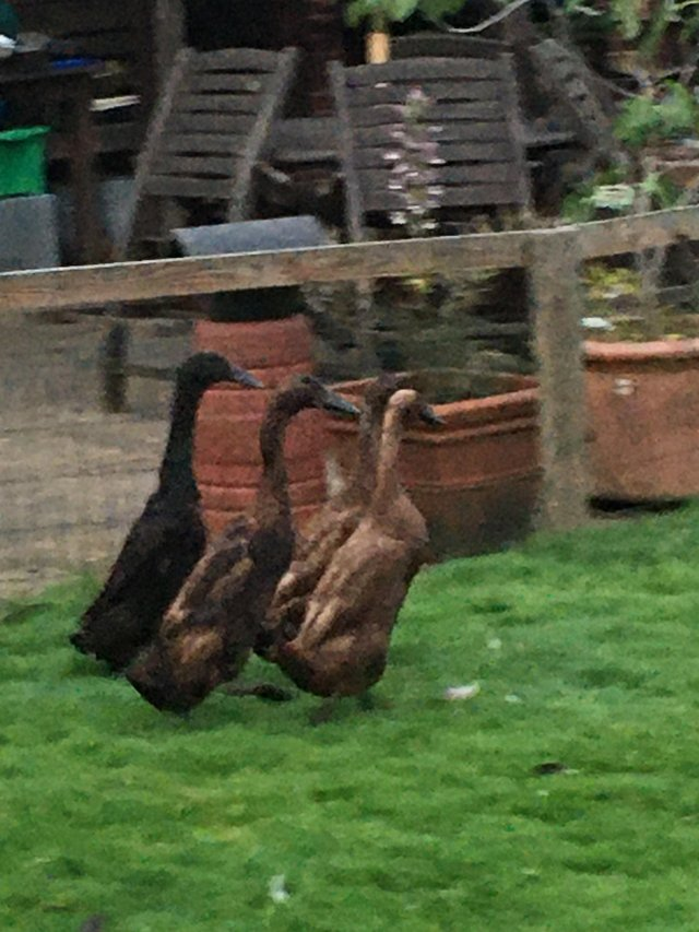Preview of the first image of Pair of Chocolate Indian Runners ducks.