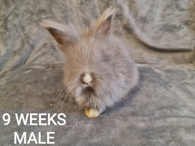 Preview of the first image of DWARF ANGORA RABBITS READY TO LEAVE NOW.