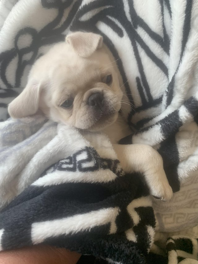 Image 4 of Pug puppies quality special white/blk/fawn