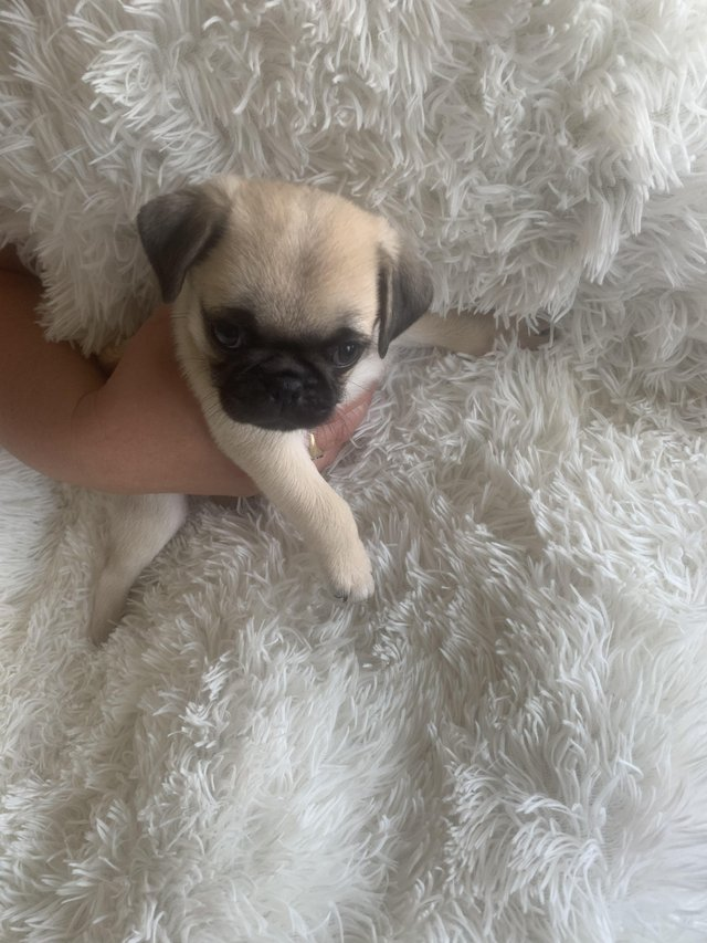 Image 5 of Pug puppies quality special white/blk/fawn