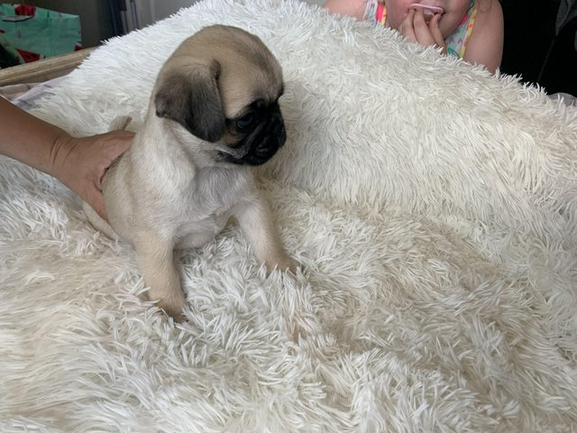 Image 6 of Pug puppies quality special white/blk/fawn
