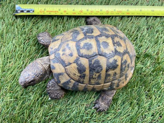 Preview of the first image of Male Hermann's Tortoise for Sale born 2002.