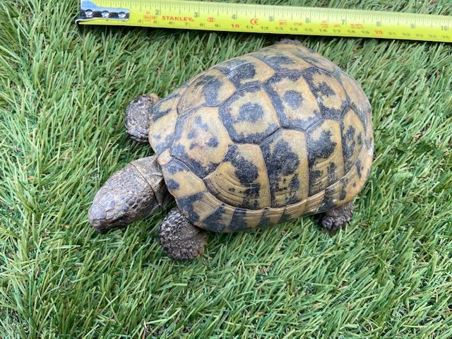 Image 2 of Male Hermann's Tortoise for Sale born 2002