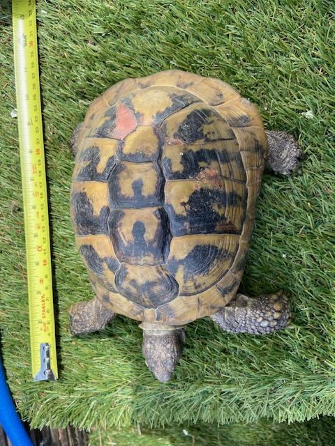 Preview of the first image of Female Hermann's Tortoise for Sale born 2002. Collection onl.