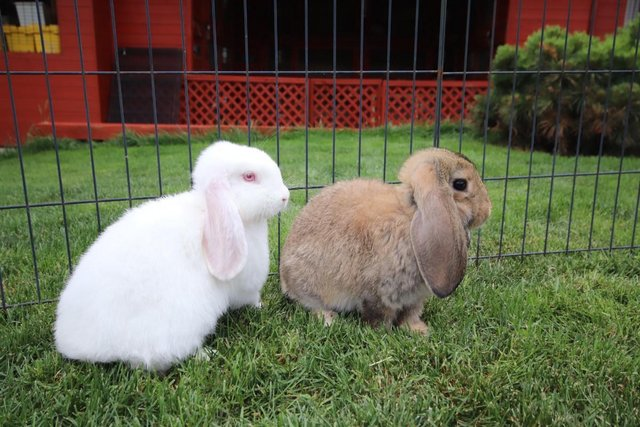 Image 2 of Young REW & Agouti German Lop Rabbits.