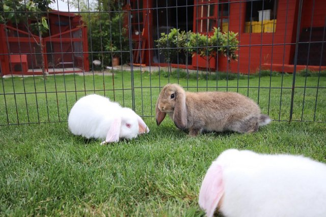 Image 3 of Young REW & Agouti German Lop Rabbits.