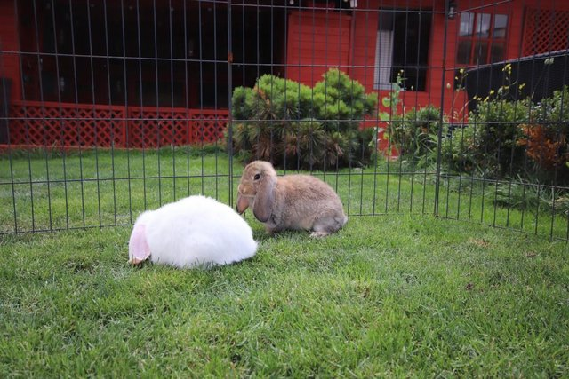 Image 4 of Young REW & Agouti German Lop Rabbits.