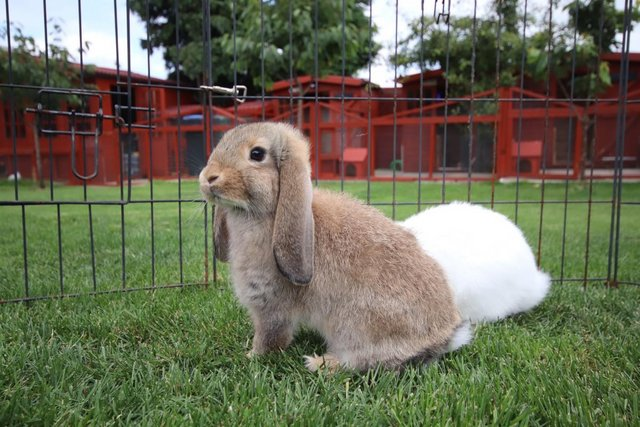 Image 5 of Young REW & Agouti German Lop Rabbits.