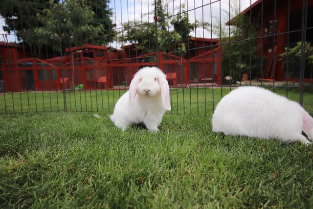Image 6 of Young REW & Agouti German Lop Rabbits.