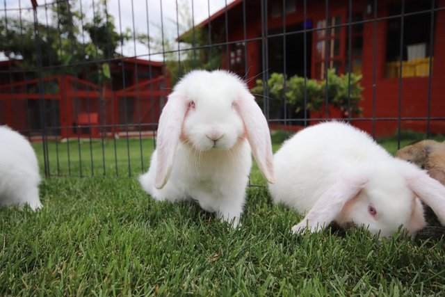 Image 7 of Young REW & Agouti German Lop Rabbits.