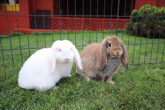 Preview of the first image of Young REW & Agouti German Lop Rabbits..