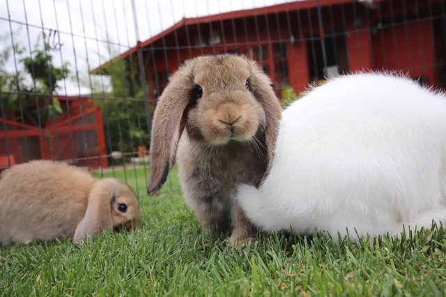Image 8 of Young REW & Agouti German Lop Rabbits.