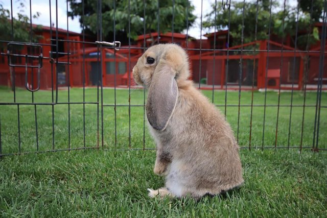 Image 9 of Young REW & Agouti German Lop Rabbits.