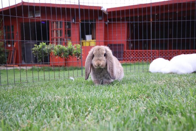 Image 10 of Young REW & Agouti German Lop Rabbits.