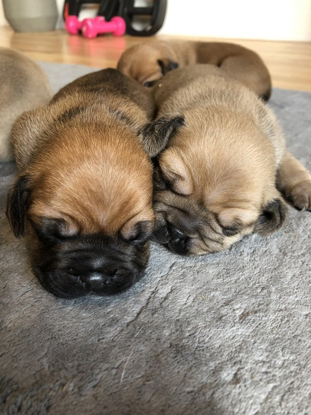 Image 3 of Beautiful puggle puppies - boys and girls available