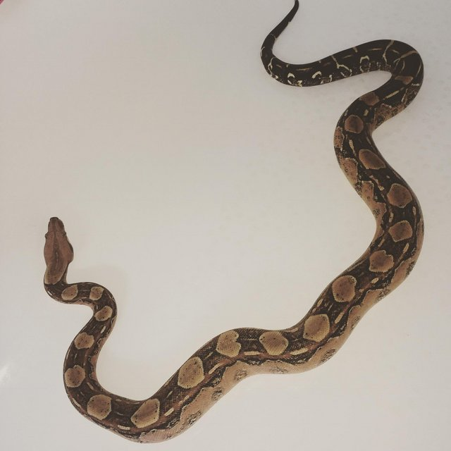Preview of the first image of Boa constrictor snake . . . . ..