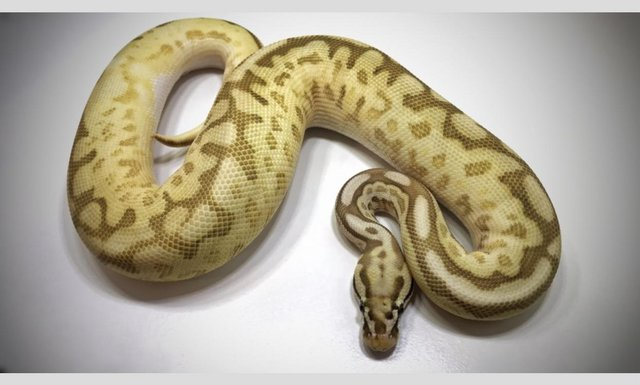 Preview of the first image of Adult Male Leopard Queen Bee poss YB, poss het Pied/Albino.