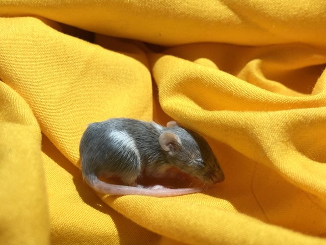 Image 3 of Adult mice. Males must be kept solo