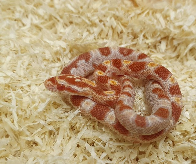 Preview of the first image of Stunning Baby Amel Corn Snakes.