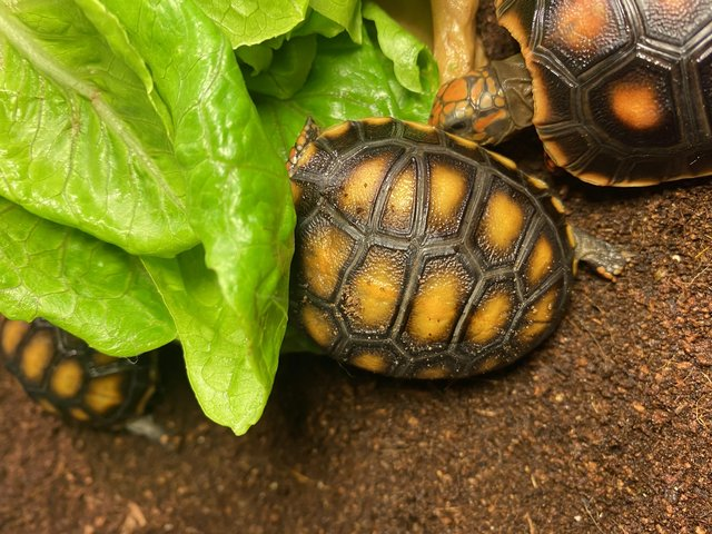 Image 4 of BEAUTIFUL RED FOOT BABIES AVAILABLE