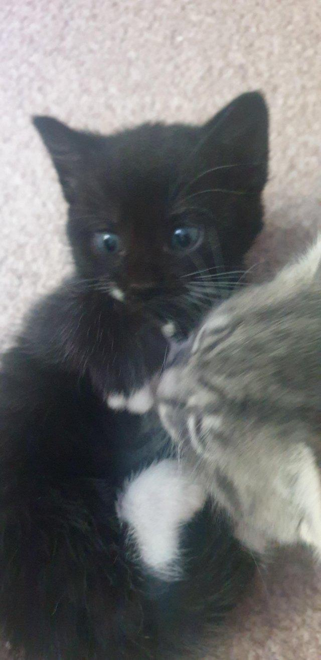 Preview of the first image of Kittens for sale - I have 1 left.