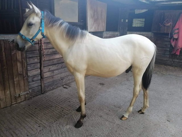 Preview of the first image of Beautiful pre fusion gelding yearling.