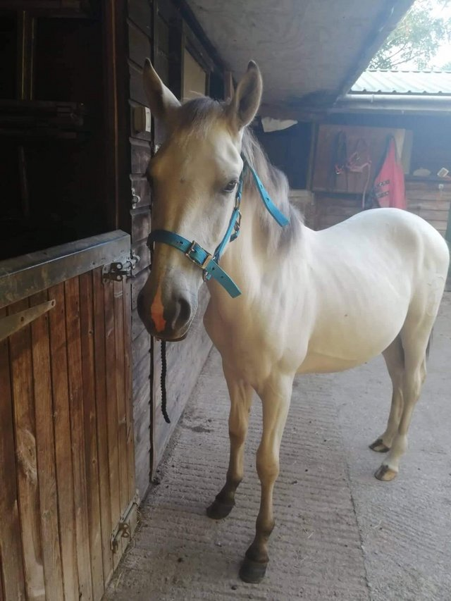 Image 6 of Beautiful pre fusion gelding yearling