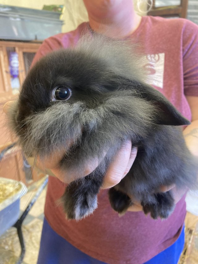Preview of the first image of Ready 4th august lion lop baby rabbits.