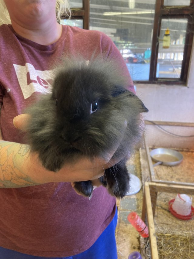 Image 2 of Ready 4th august lion lop baby rabbits