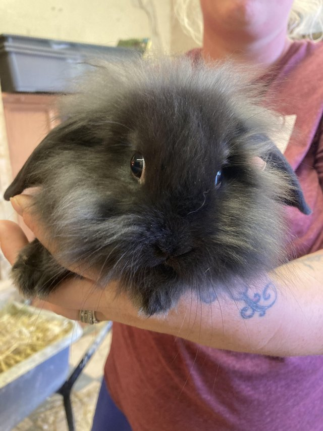 Image 3 of Ready 4th august lion lop baby rabbits