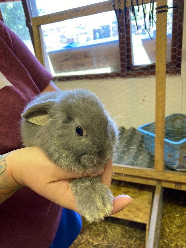 Image 2 of Ready 4th aug male lion lop light gray baby