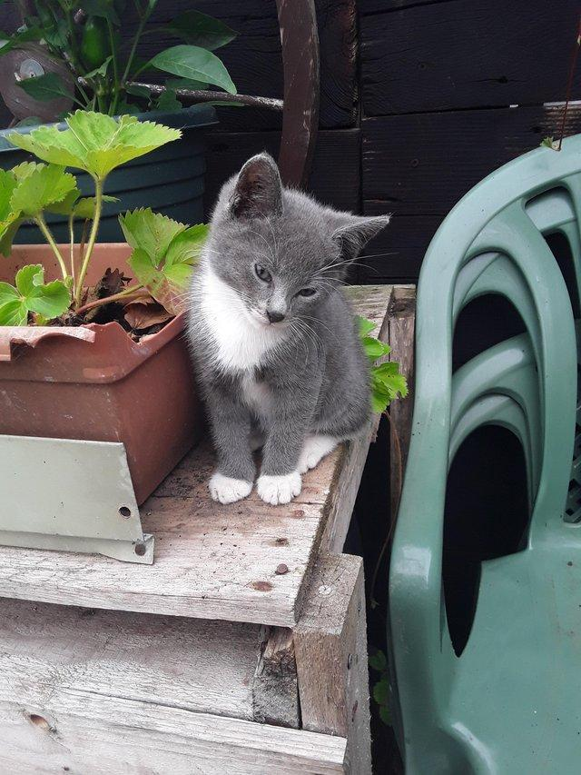 Image 3 of ....Kitten Has Now been rehomed......