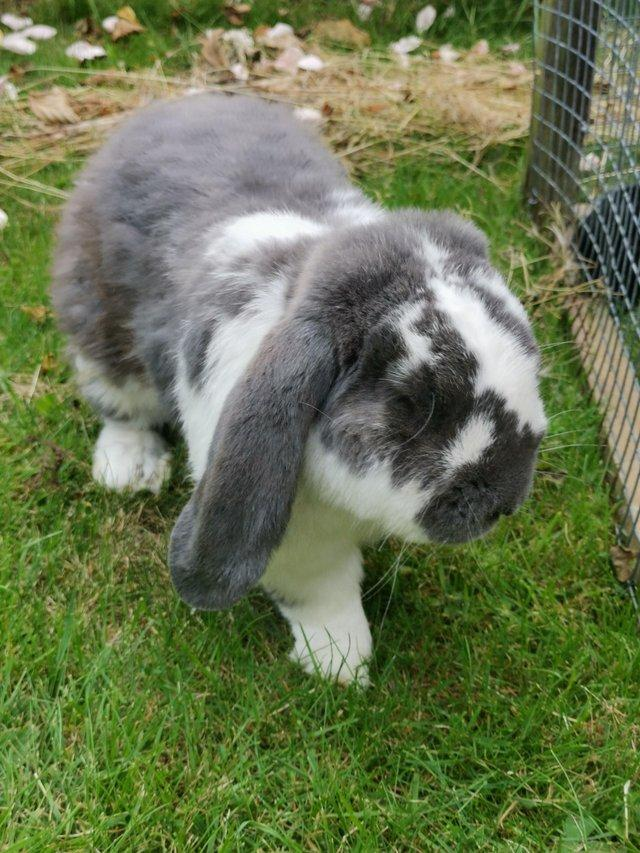 Preview of the first image of Purebred French Lop Buck For Sale.