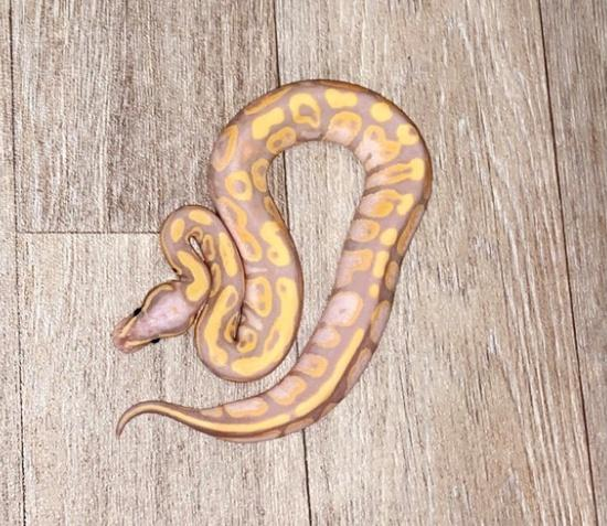 Preview of the first image of Banana Pastel 100% Het Albino & Possible Het Pied Male.