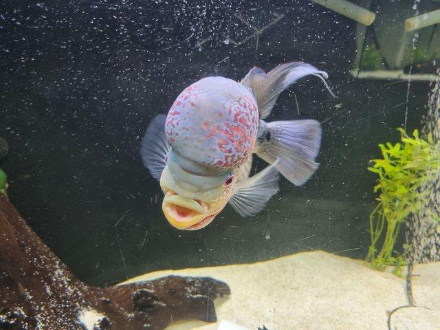 Preview of the first image of Flowerhorn 2 years old age ready to leave.