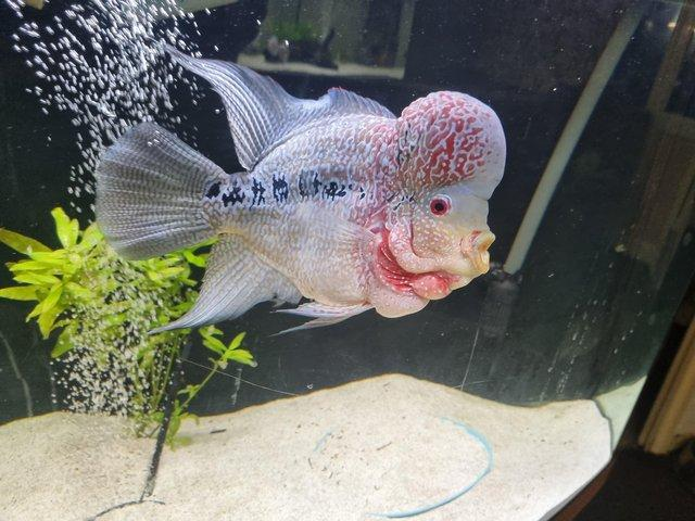 Image 2 of Flowerhorn 2 years old age ready to leave