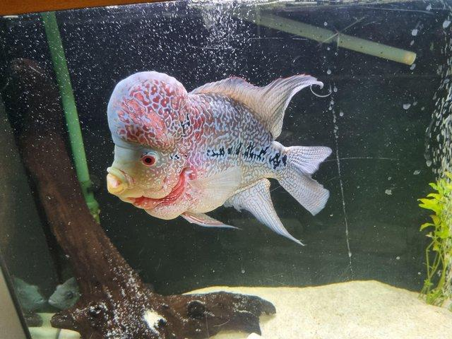 Image 3 of Flowerhorn 2 years old age ready to leave