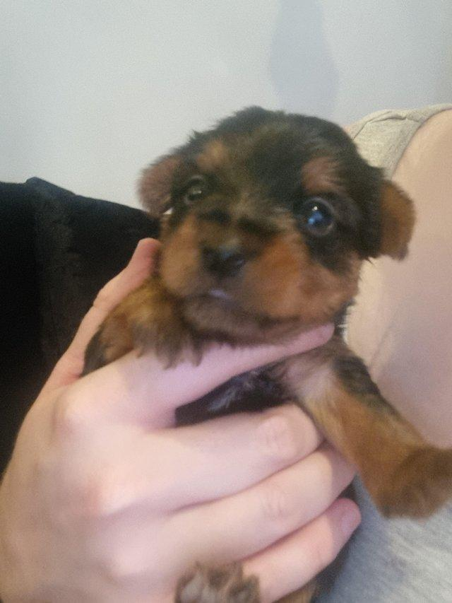 Image 3 of Two male Yorkshire Terrier puppies for sale