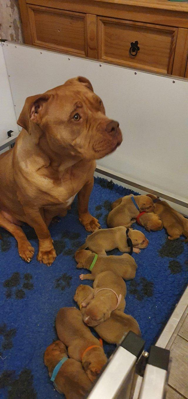 Image 6 of READY TO LEAVE NOW. XL American Bully Puppies