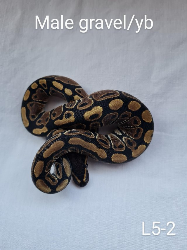Preview of the first image of gravel/yellowbelly royal python.