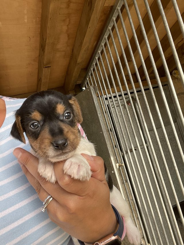 Image 5 of Short legged Jack Russell puppies