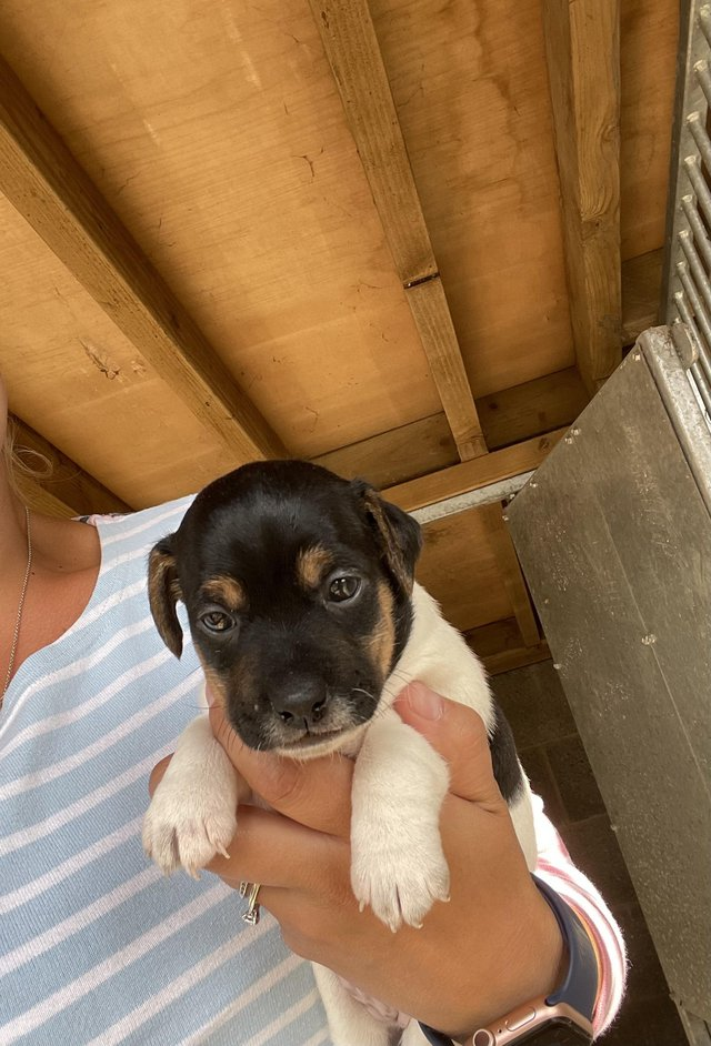 Image 6 of Short legged Jack Russell puppies