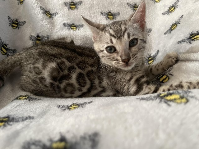 Preview of the first image of Stunning Pedigree Silver Bengal Kitten.